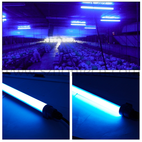 blue light used in chicken hatcheries to promote health and growth
