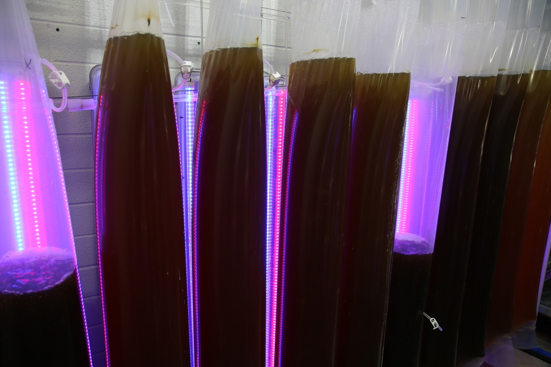 T8 LED Tube lights Red & Blue for growing algae