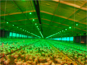 using green light to produce healthy chickens and poultry lighting controller system
